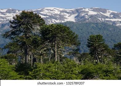 Monkey puzzle trees (Araucaria araucana) and cliffs. Conguillio National Park. Araucania Region. Chile.