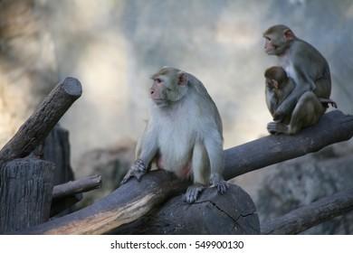 Monkey / Rhesus Macaque