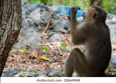Monkey Rhesus Macaque drinking from a water bottle in Cambodia Asia