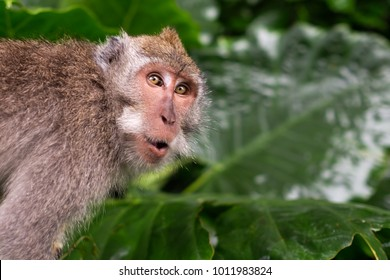 Monkey is shocked and surprised. Facial emotion of animal.