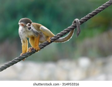 Monkey side view. Black-capped squirrel monkey sits on a rope, shallow depth of field