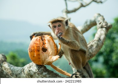 Monkey siting on the tree and eating coconut
