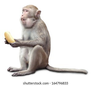 the monkey sits and eats banana. isolated on white