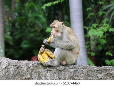 monkey sits on the stone and eats banana