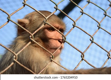 Monkey sitting behind bars looking at right side, monkey in cage
