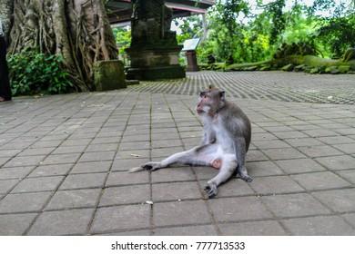 Monkey sitting in monkey forest Ubud Bali Indinesia