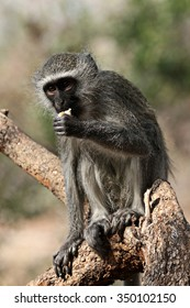 a monkey sitting on a dead tree while eating