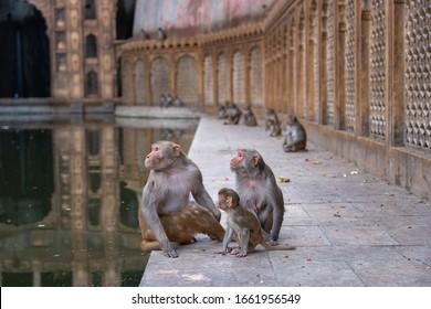 Monkey sitting on the floor at Hanuman ji temple, Jaipur, India
