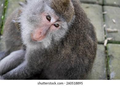 Monkey sitting on the ground, Ubud, Bali, Indonesia