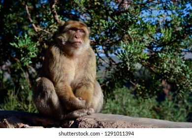 Monkey sitting on the parapet with green leaves on the background, Ouzoud waterfalls, Morocco