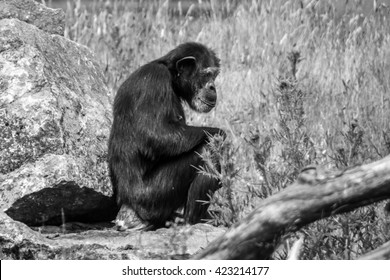 Monkey sitting on rock in black and white