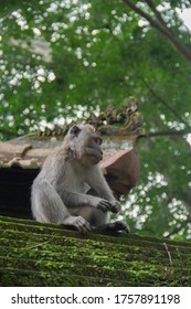Monkey sitting on the roof in Sacred Monkey Forest in Ubud, Bali, Indonesia. August ‎6, ‎2018