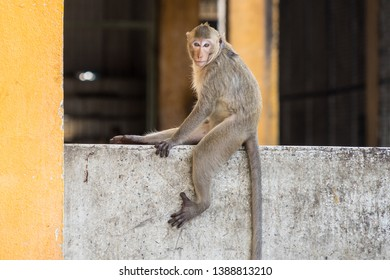A monkey is sitting on the wall, lopburi, Thailand.