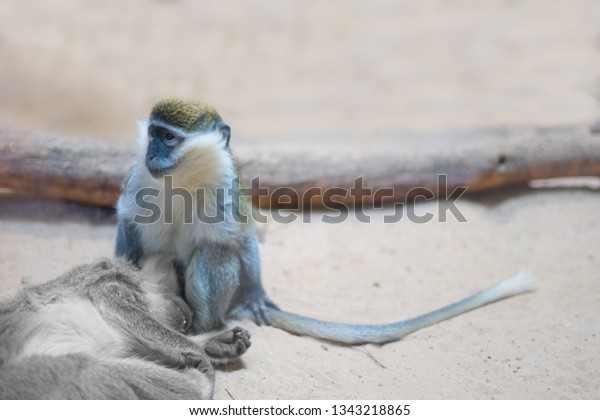 monkey sitting over the body of a deceased relative. the concept of animal protection