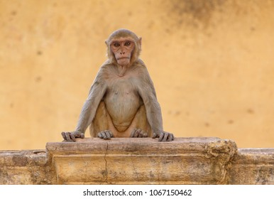 monkey sitting at yellow building in Jaipur, India