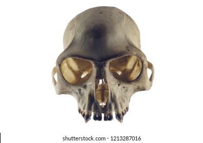 Monkey skull front view on white background