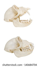Monkey skull, isolated on white, side view