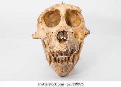 Monkey skull  on white background