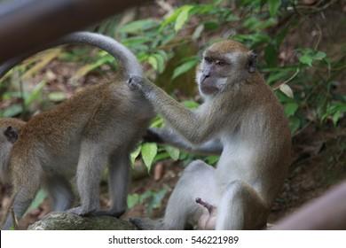 do monkeys have dicks
