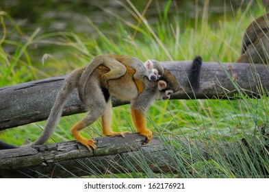 "Monkey ""squirrel monkey"" with a baby on her back is the dry tree"