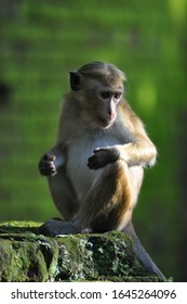 Monkey from Sri Lanka taking a rest on a stone while eating