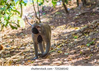 Monkey with stolen sunglasses. Bali, Indonesia.