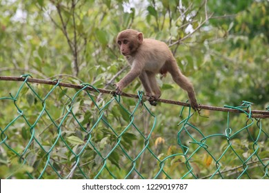 Monkey of Sundarban