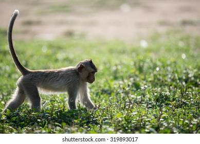 Monkey tail up in grass field