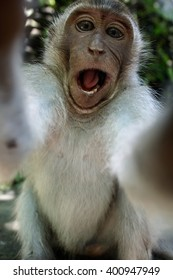 Monkey taking a selfie, trying to steal a camera. Monkey Forest, Ubud, Bali, Indonesia, Asia