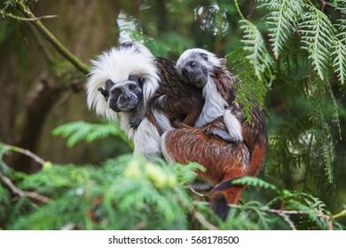 Monkey Tamarin Pinc (Saguinus oedipus) wit baby on tree