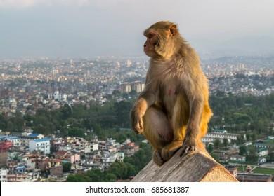 Monkey in the temple in Kathmandu, Nepal