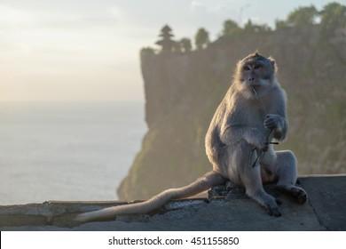 Monkey thief sitting with stolen glasses at sunset near Uluwatu temple, Bali island landscape. Famous Indonesia landmark at a dusk