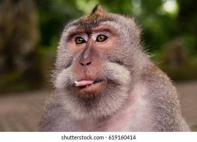 Monkey tongue