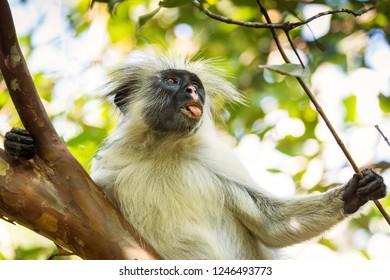 Monkey in tree in Jozani Forest of Zanzibar island, Tanzania