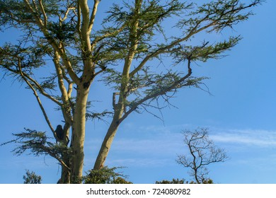 A monkey in a tree in the Masai Mara Kenya