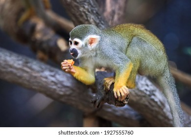 Monkey in the tropic forest vegetation. Wildlife scene from nature. Beautiful cute animal.Look at Squirrel monkey in ecuadorian jungle in amazon