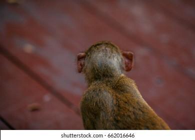 monkey in tropical Park of China, Hainan island
