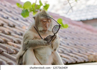 Monkey Trying to Figure Out the Use of a Pair of Sunglasses in Bali, Indonesia