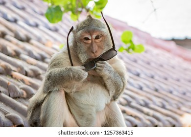 Monkey Trying to Put On a Pair of Sunglasses in Bali, Indonesia
