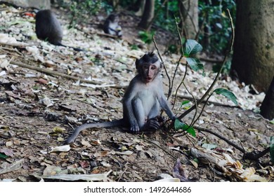 Monkey in Ubud monkey forest holding tree branches, Bali