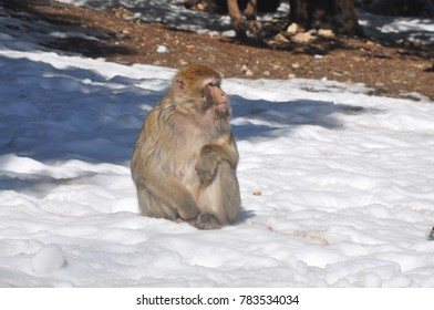 a monkey view, shot in ifrane , morocco
