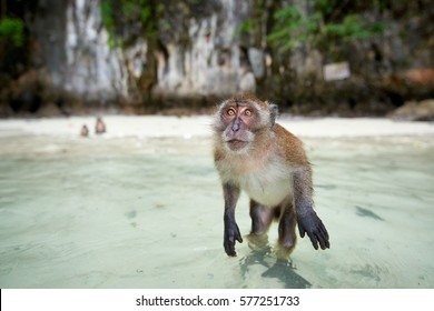 Monkey waiting for food in Monkey Beach, Phi Phi Islands, Thailand