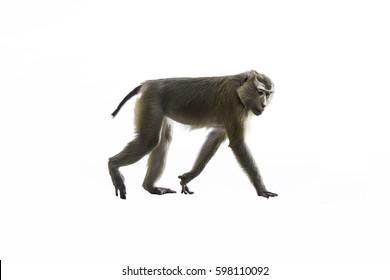 The monkey is walking