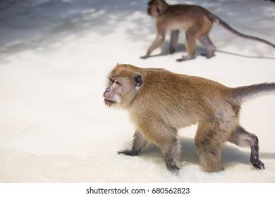 Monkey walking on the beach (focus on monkey's face)