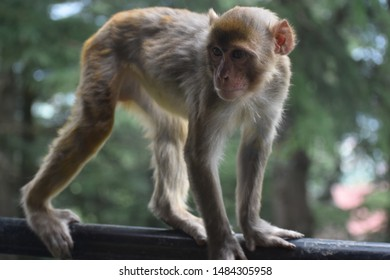 Monkey walking on gril, natural pic
