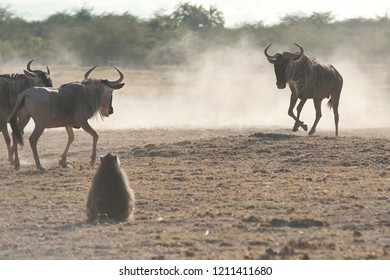 Monkey watching at some gnu fight