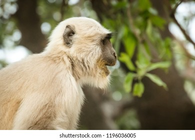 monkey with white fur on the background of green trees. monkey in a natural habitat in the jungle.