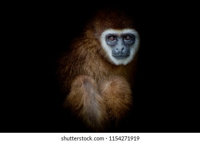 monkey white-handed Gibbon looking and siting with balck background