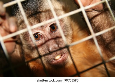 monkey in zoo or laboratory in cage. abe behind bars
