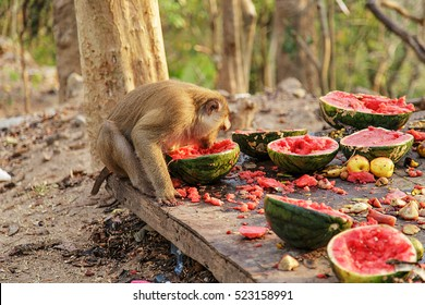 monkey/monkey family/monkey eating watermelon/monkey forest in thailand